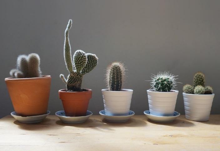kaktuy